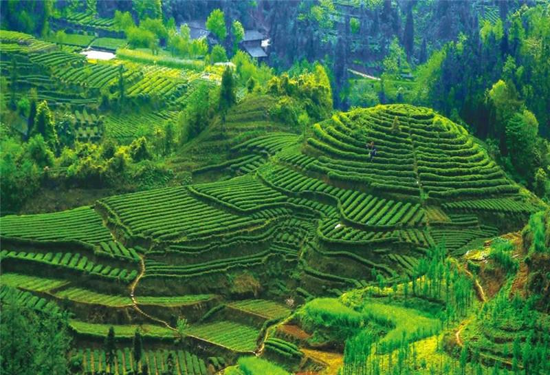 Emei-hegy, Kína, tea, tea expo